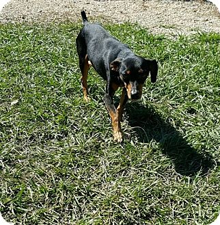 Miniature Pinscher/Dachshund Mix Dog for adoption in Hammond, Louisiana - Milo
