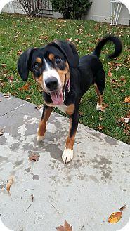 Entlebucher Mix Dog for adoption in Meridian, Idaho - Sadie