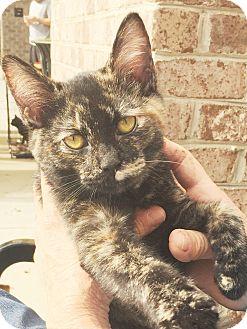 Domestic Shorthair Kitten for adoption in Lincolnton, North Carolina - Beach Boy Kittens-Aruba