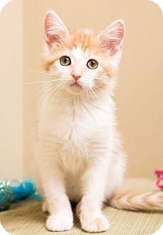 Domestic Shorthair Kitten for adoption in Chicago, Illinois - Sketch
