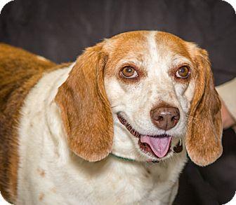 Beagle Mix Dog for adoption in Martinsville, Indiana - Chloe