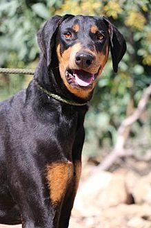Doberman Pinscher Dog for adoption in Fillmore, California - Snickers