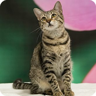 Domestic Shorthair Cat for adoption in Houston, Texas - Keanu