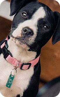 Pit Bull Terrier Mix Dog for adoption in Red Lion, Pennsylvania - Prescilla