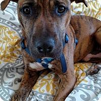 Plott Hound Mix Dog for adoption in West Allis, Wisconsin - Jackson