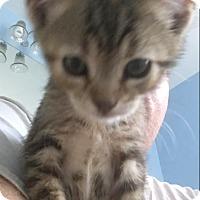 Domestic Shorthair Kitten for adoption in MCLEAN, Virginia - Sriracha