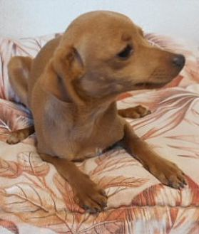 Chihuahua Puppy for adoption in Yucaipa, California - Rhue