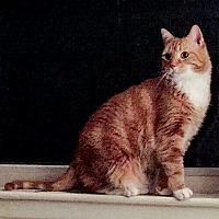 Adopt A Pet :: Jack     Lg. Maine Coon X - Ypsilanti, MI