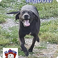 Adopt A Pet :: SHADOW - Strattanville, PA