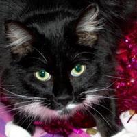 Adopt A Pet :: Tux - Waupaca, WI