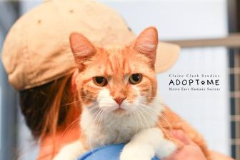 Domestic Shorthair/Domestic Shorthair Mix Cat for adoption in Edwardsville, Illinois - Louis