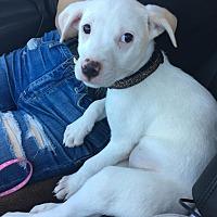 Adopt A Pet :: Chanel - Phoenix, AZ