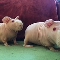 Adopt A Pet :: Moe & Curly - Fullerton, CA