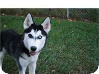 Husky/Siberian Husky Mix Dog for adoption in Saint Charles, Missouri - Maggie