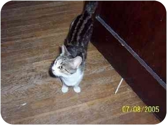 Domestic Shorthair Cat for adoption in Indianapolis, Indiana - Avon (she pronou
