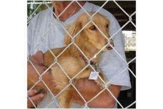 Dachshund Dog for adoption in Vista, California - Mia