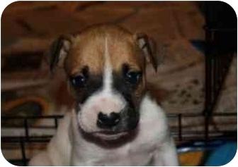 "American Bulldog/Boxer Mix Puppy for adoption in Marietta, Georgia - Chattahoochee ""Hooch"""