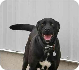 American Pit Bull Terrier/Labrador Retriever Mix Dog for adoption in Meridian, Idaho - Crash