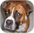 Boxer Dog for adoption in Sunderland, Massachusetts - Buddy