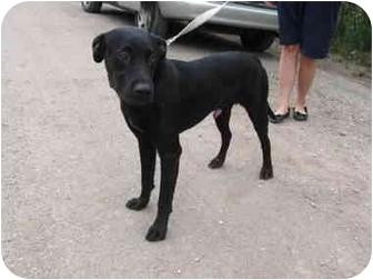 Labrador Retriever Mix Dog for adoption in Wamego, Kansas - Zippy