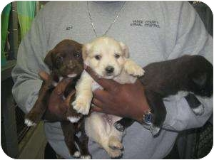 Labrador Retriever/Terrier (Unknown Type, Small) Mix Puppy for adoption in Henderson, North Carolina - Larry, Curly, & Moe
