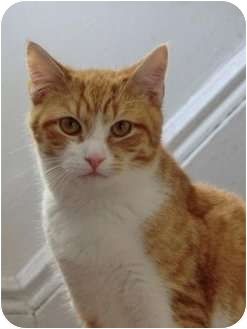 Domestic Shorthair Kitten for adoption in bloomfield, New Jersey - Sonny