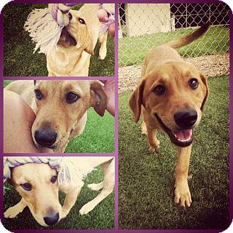 Labrador Retriever Mix Dog for adoption in Daytona Beach, Florida - Daisy