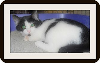 Domestic Shorthair Cat for adoption in Medford, Wisconsin - FLINCH(ADOPTION ONLY $40)