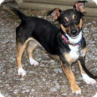 Rat Terrier Mix Dog for adoption in Salem, New Hampshire - COLBIE