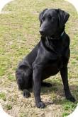 Labrador Retriever Mix Dog for adoption in Lewisville, Indiana - Zeus