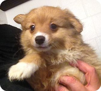 Pomeranian/Chihuahua Mix Puppy for adoption in Richmond, Virginia - Cottontail