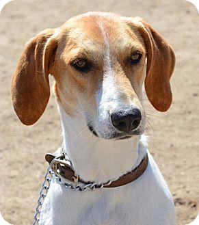 Foxhound Dog for adoption in Gardnerville, Nevada - Ginger