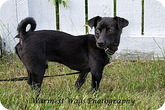 Chihuahua Mix Dog for adoption in Calgary, Alberta - Blackie