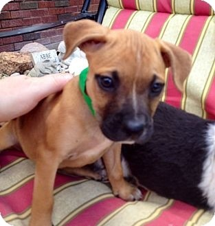 Boxer Mix Puppy for adoption in waterbury, Connecticut - Charity