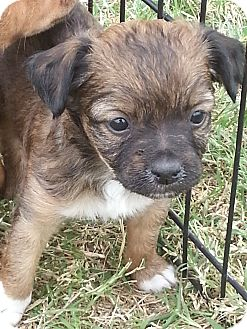 Terrier (Unknown Type, Small) Mix Puppy for adoption in San Antonio, Texas - DeeZee