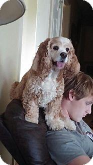 Cocker Spaniel Mix Dog for adoption in Nashville, Tennessee - Freckles