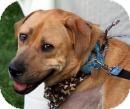 Mastiff/Labrador Retriever Mix Dog for adoption in Wayne, New Jersey - Gambit