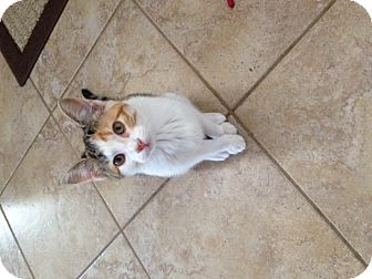 Domestic Shorthair Kitten for adoption in Fort Leavenworth, Kansas - Zoe