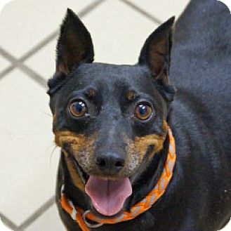 Miniature Pinscher Mix Dog for adoption in Eatontown, New Jersey - Diesel