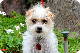 Poodle (Miniature)/Terrier (Unknown Type, Small) Mix Dog for adoption in Los Angeles, California - Pearl