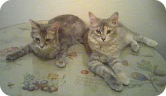 Domestic Shorthair Kitten for adoption in Oakland, California - 'Sweeties' Kitties