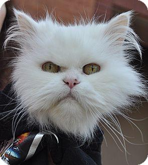Persian Cat for adoption in Atlanta, Georgia - Maude