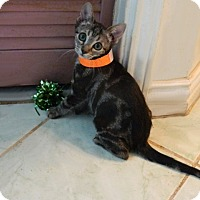 Adopt A Pet :: Polly Jean - The Colony, TX