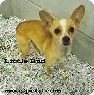 Chihuahua Mix Dog for adoption in Danielsville, Georgia - LIttle Bud