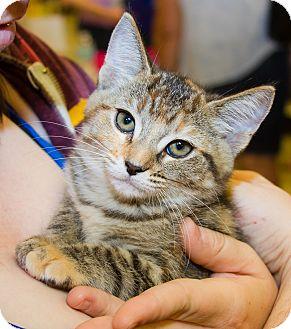 Domestic Shorthair Kitten for adoption in Irvine, California - Devin