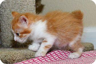 Manx Kitten for adoption in Davis, California - Jon Thomas