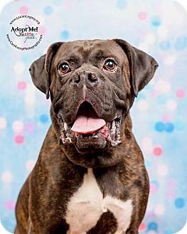Boxer Dog for adoption in Cincinnati, Ohio - Dooley