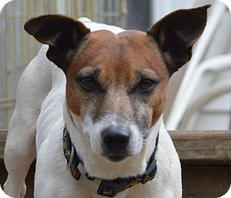 Jack Russell Terrier Dog for adoption in Blue Bell, Pennsylvania - Amos