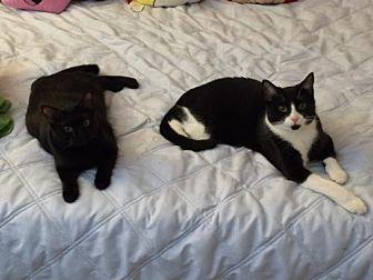 Domestic Shorthair Cat for adoption in O'Fallon, Missouri - Tayson & Godiva