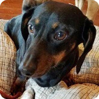 Dachshund Dog for adoption in Houston, Texas - Adele Allstar